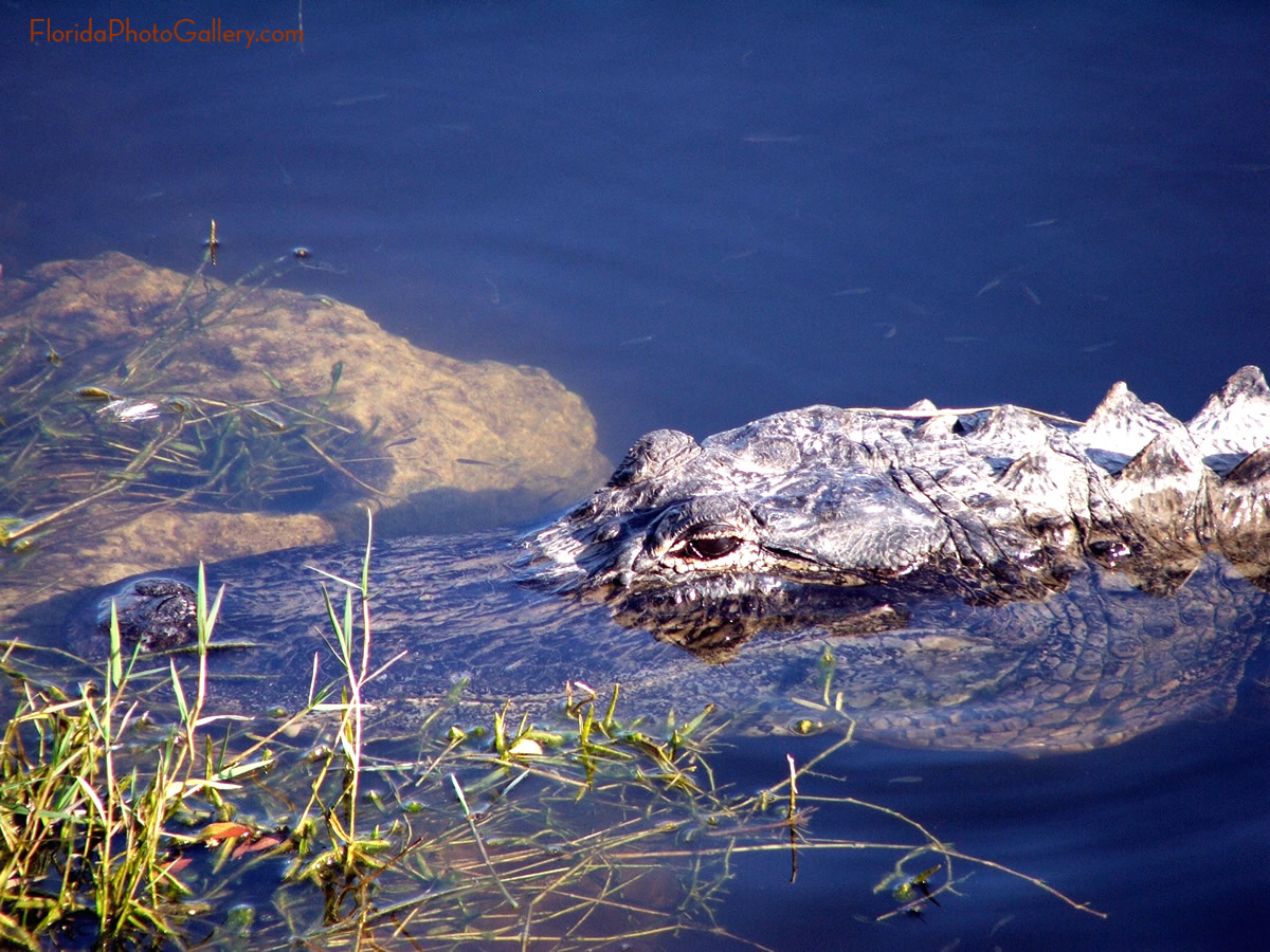 Alligator close up image