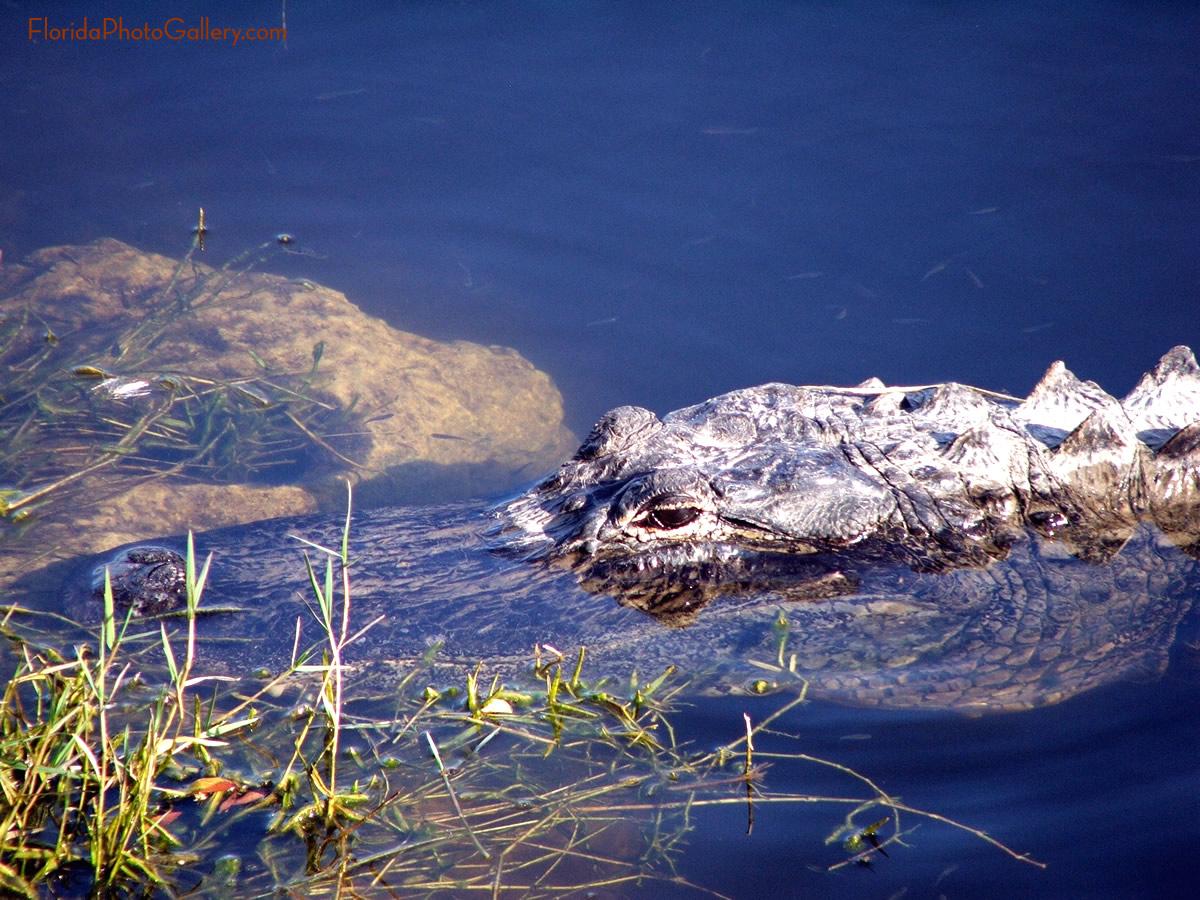 Alligator close up image