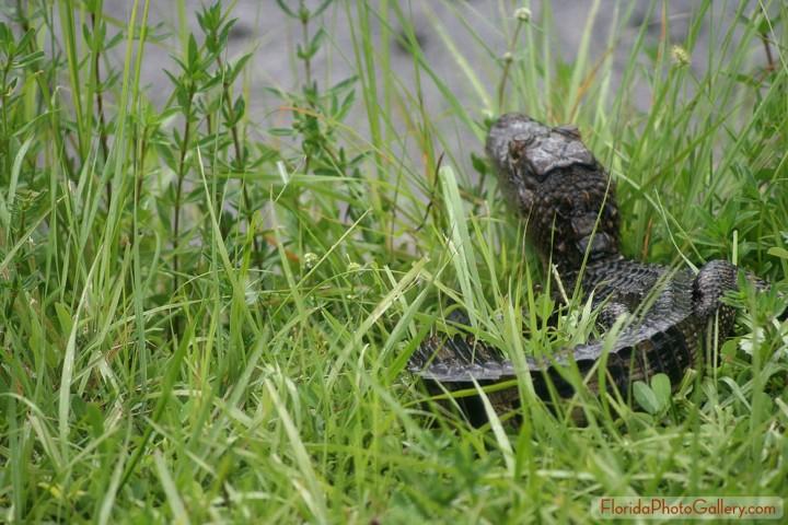 Baby Alligator Fleeing