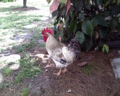 Rooster in the City