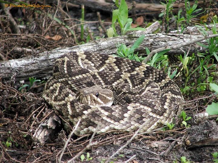 Weedon Island Park – Rattlesnake