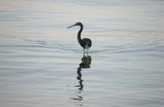 Tricolor Heron Wading at Sunset