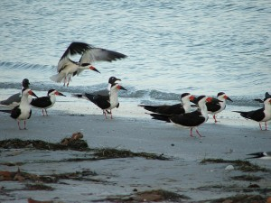 Black Skimmers on Florida beach photo