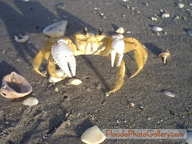 Ghost crab picture.