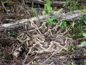 Eastern Diamondback Rattlesnake - Weedon Island Florida