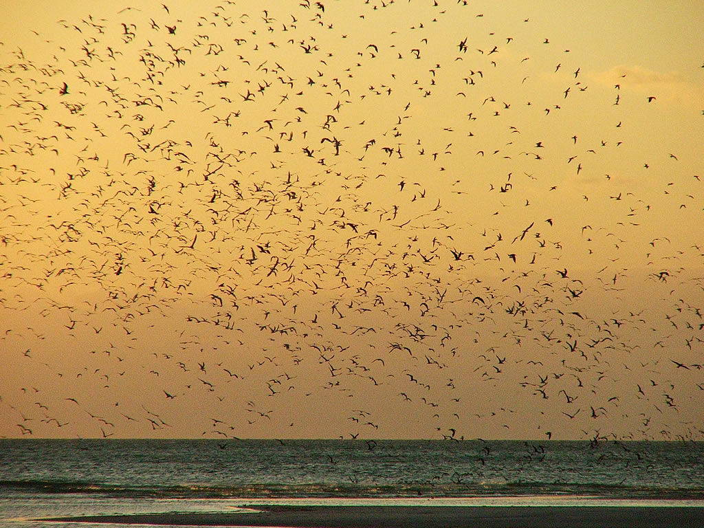 Black Skimmers at Sunset